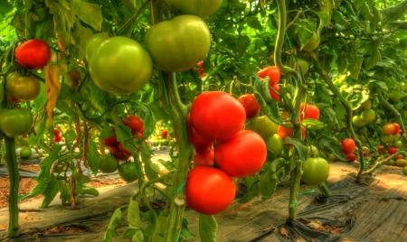 Tomate Standard-Bild