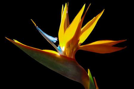 strelezia, Bird of Paradise flower