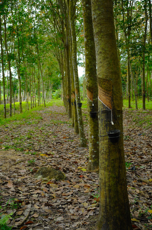 tapper: Rubber trees Stock Photo