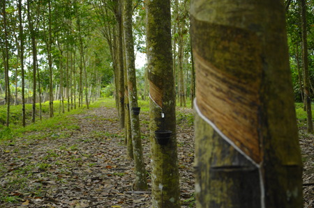 tapper: Rubber Tree (Hevea brasiliensis) produces latex Stock Photo