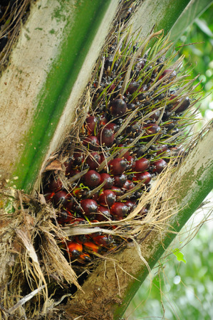Bunches of palm oil fruits photo
