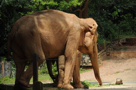 housed: A wild elephant that has been placed at the Zoo Melaka, Malaysia. Elephant is housed in a fenced enclosure with a ditch filled with water.