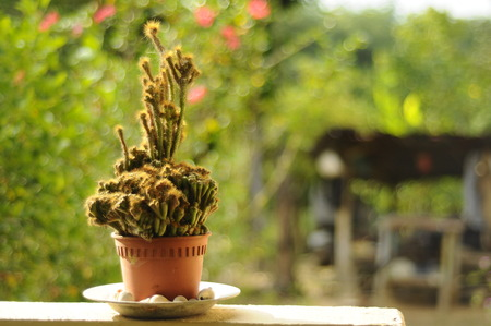 solace: A small cactus planted in small pots. Cactus is used as decoration. Small flowering plants can provide solace to owners
