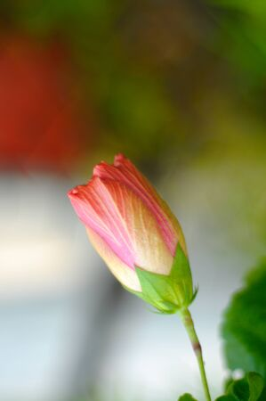 malvaceae: Hibiscus is a genus of flowering plants in the mallow family, Malvaceae