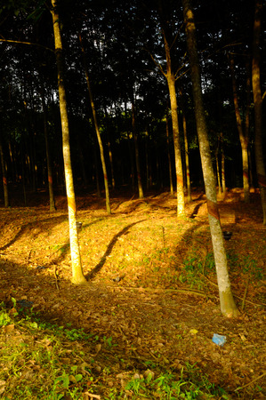 tapper: Rubber trees or Hevea brasiliensis are plants that produce latex.  Stock Photo