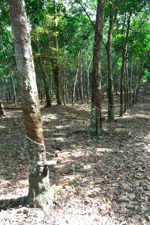 tapper: Rubber trees or Hevea brasiliensis are plants that produce latex on June 17, 2014 at Jasin, Malacca, Malaysia . Latex can then be processed into a variety of valuable products from rubber.