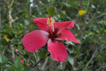 genus: Hibiscus is a genus of flowering plants in the mallow family, Malvaceae on MARCH 09, 2014 at Malacca, Malaysia. It was a Malaysian national flower.