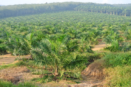 Palmolie bomen in palmolie landgoed plantage