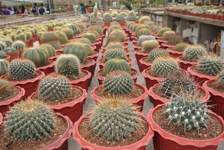 Cactus plant nurseries in Cameron Highland one of the famous Malaysian highland. photo