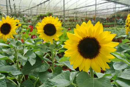 energize: Sunflower farm in Cameron Highland one of the famous Malaysian highland.