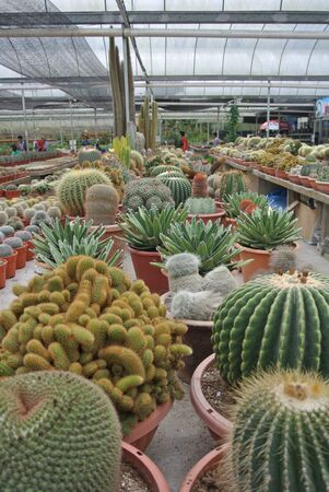 nurseries: Cactus plant nurseries in Cameron Highland one of the famous Malaysian highland.