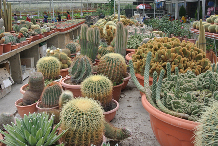 Cactus plant nurseries in Cameron Highland one of the famous Malaysian highland.