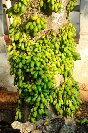oxalidaceae: Averrhoa bilimbi commonly known as bilimbi, cucumber tree, or tree sorrel is a fruit-bearing tree of the genus Averrhoa, family Oxalidaceae. It is a close relative of carambola tree. Stock Photo