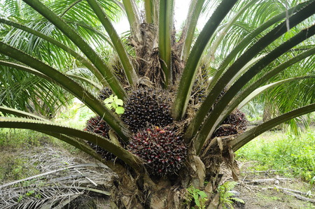 Palm oil tree in palm oil estate at Mersing, Johor, Malaysia.
