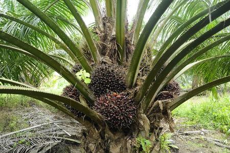 Palmolie boom in palmolie landgoed in Mersing, Johor, Maleisië. Stockfoto