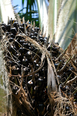 bunches: Close-up view palm oil fruit bunches on the palm oil trees in the palm oil plantation at Mersing, Malaysia on August 30, 2015.