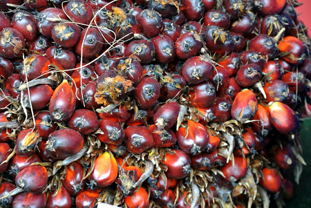 bunches: Close-up view of palm oil fruit bunches