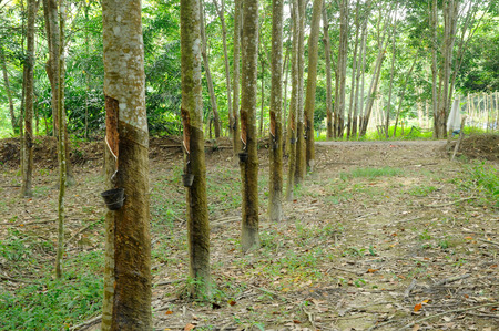 tapper: Rubber trees or Hevea brasiliensis plants Stock Photo
