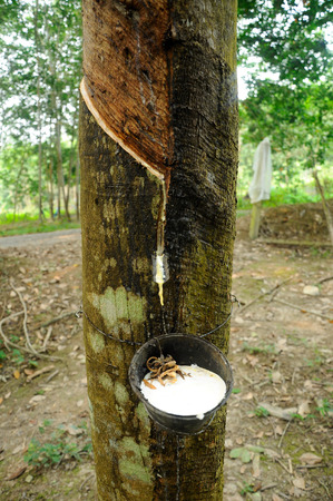 rubber: Milky latex extracted from rubber tree