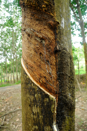 tapper: Milky latex extracted from rubber tree