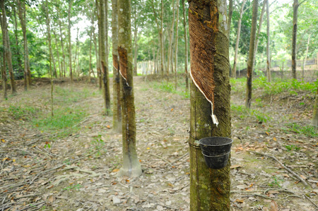 tapper: Rubber Tree or Hevea brasiliensis plantation in Malacca, Malaysia Stock Photo