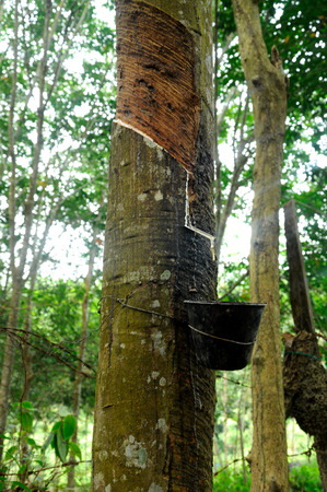 tapper: Rubber trees or Hevea brasiliensis plant