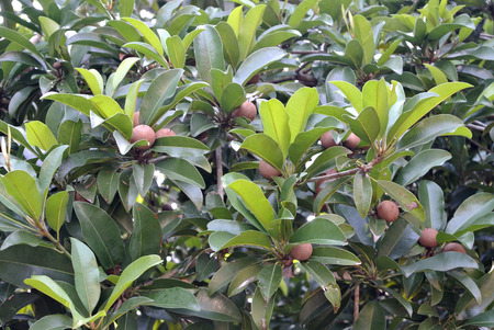antidiabetic: Manilkara zapota or sapodilla fruit on tree