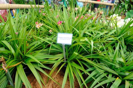 philippine: Philippine Ground Orchid or Spathoglottis Plicata