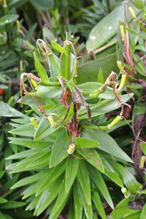 hippeastrum flower: Hippeastrum Hybrid or Amayllis in the flower garden