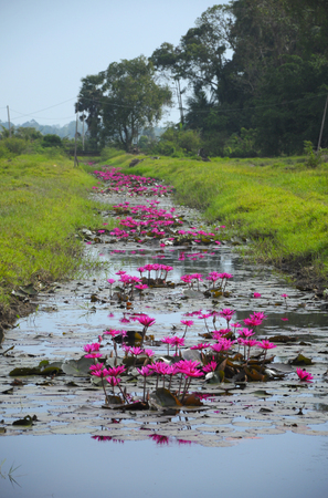 Wild water-lily or scientific name Nymphaea thrive in irrigation canals.