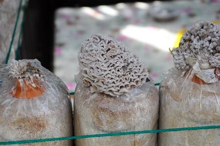 SELANGOR, MALAYSIA �DECEMBER 03, 2016: Fresh mushrooms grown commercially by farmers. Mushrooms are grown in plastic containers filled with sawdust and manure.