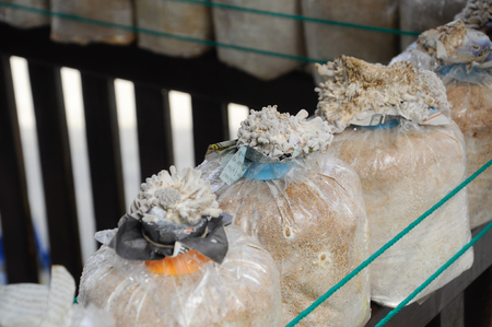 SELANGOR, MALAYSIA –DECEMBER 03, 2016: Fresh mushrooms grown commercially by farmers. Mushrooms are grown in plastic containers filled with sawdust and manure.