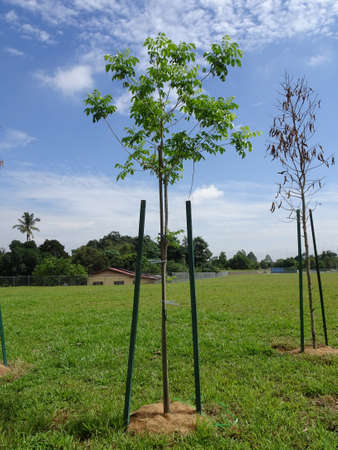 Landscape work. New trees are planted and supported with support tools such as wood to prevent it from falling. This tool will be removed later.
