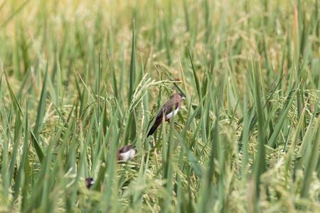 stole: Birds stole rice in the paddy field. Foto de archivo