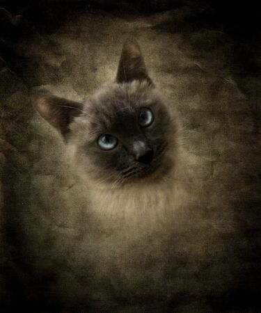 photo manipulation: Katie,siamese cat, the favorite of the family  digital artKatie, my favorite pet, Photo manipulation, fantasy,