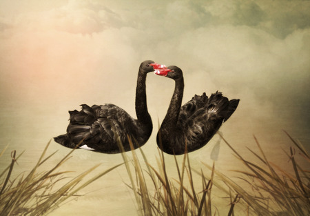 uprzejmości: The pair of black swans in love at sunset in the pond