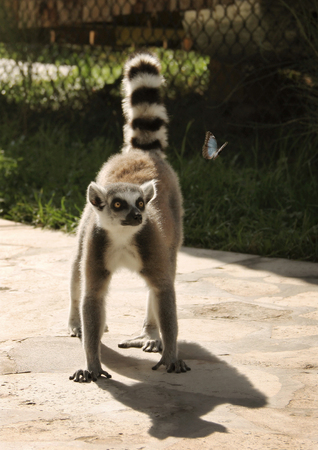 interesting: Curious lemur on the track looks at butterfly Stock Photo