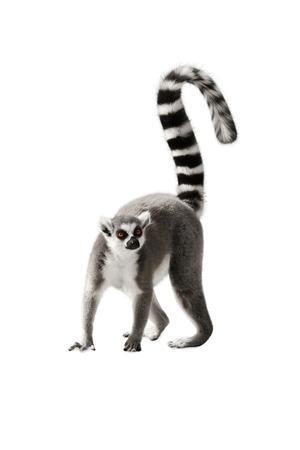 Lemur con una coda rialzata in piedi su sfondo bianco Archivio Fotografico - 49115256