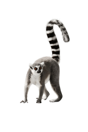 tail: Lemur with a raised tail standing on white background