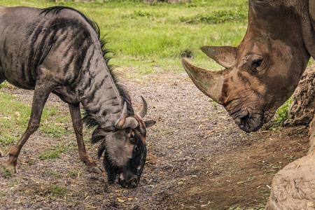 taurinus: Grazing Wildebeest, Connochaetes taurinus and Rhino in savannah