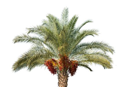 Date palm tree with unripe dates Stock Photo