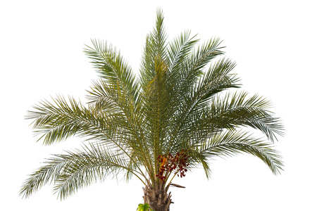 date palm tree: Date palm tree with unripe dates Stock Photo