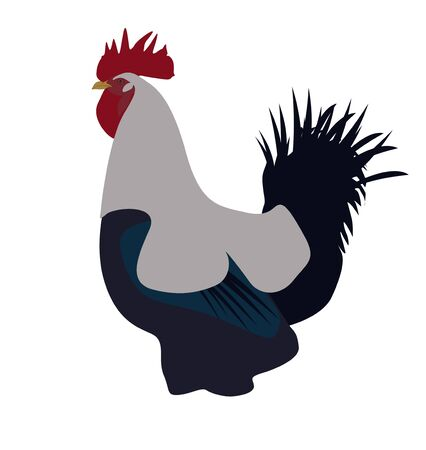 fighting cock: Colorful rooster or fighting cock in the farm Stock Photo