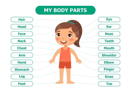 My body parts - anatomy for children. Cartoon vector illustration. Card for the teaching aid. For use in animation, applications, printing.