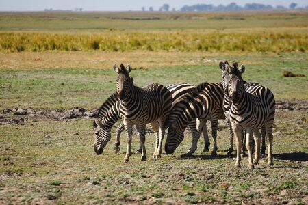 A small group of African Zebra Stock Photo - 5639875