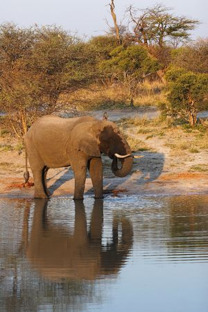 largest tree: African Elephant bull drinking water