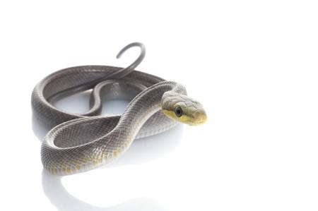 rats: Argento Rosso Fase coda verde Rat Snake (Gonyosoma oxycephela)