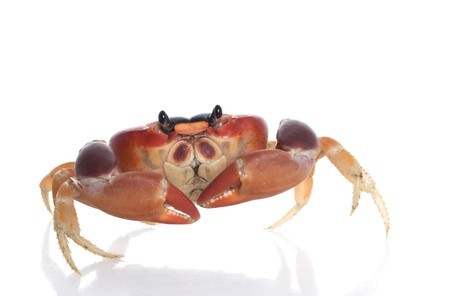 Moon Crab Stock Photo - 4419914
