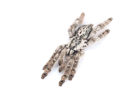 H. maculata Tarantula Reklamní fotografie
