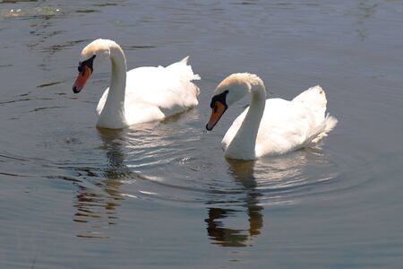 pair of swans swimming together in pond Banco de Imagens